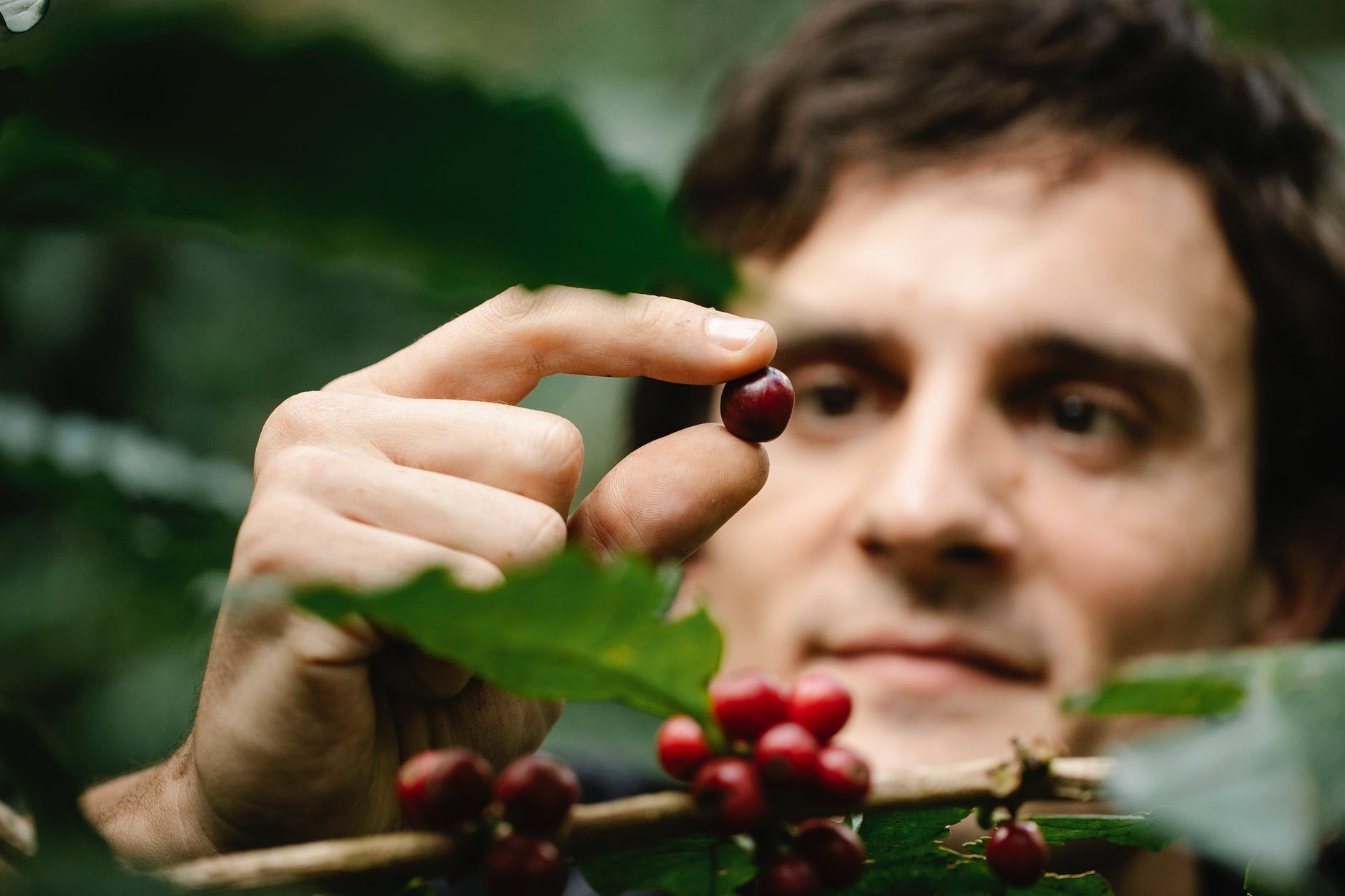 happy male gardener picking red coffee beans from bush in farm